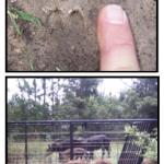Baby Hog Tracks