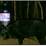 Big Boar Feeding On Barrel