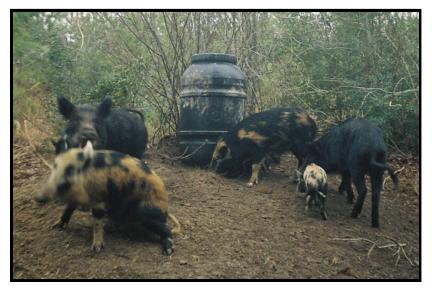 Dominant Hog At Bait