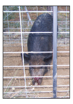 Fera Hog In Cage With Cut Nose