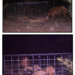 Hogs in Cage Trap At Night