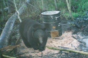 black bear on bait