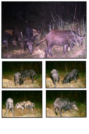 Tips and Tricks   Boarmasters   Bear, Hog, Deer, and Elk Bait, Lures ...