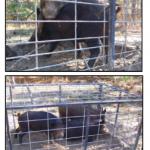 small fera hogs