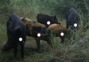shotplacementhogs