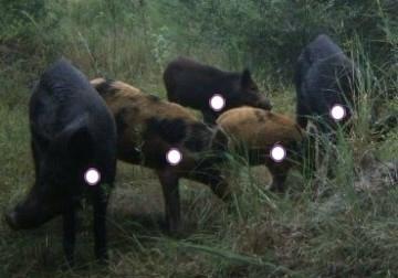 Hog Anatomy and Physiology | Boarmasters | Bear, Hog, Deer, and Elk ...