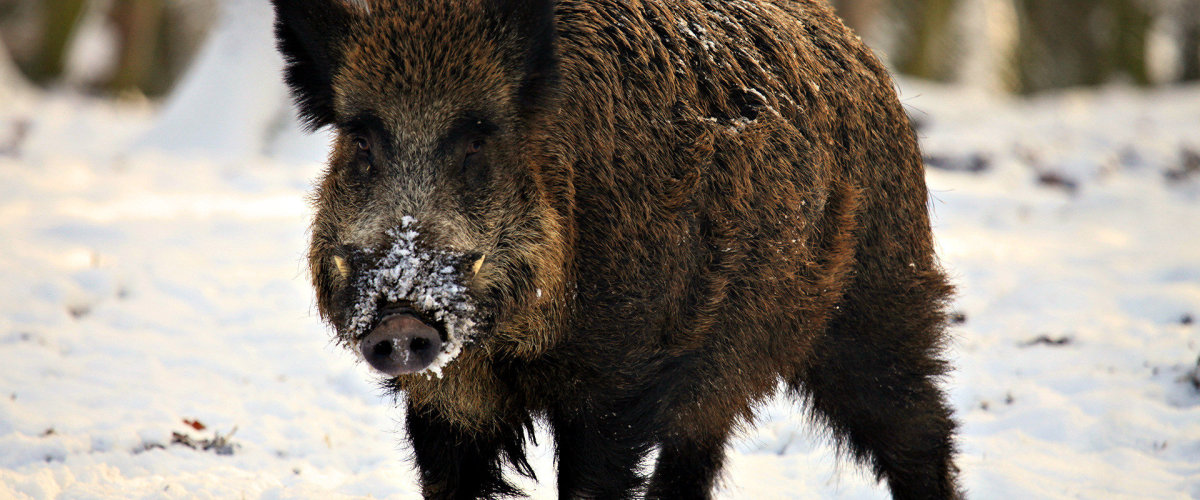 Tips for Hunting and Trapping Wild Hogs