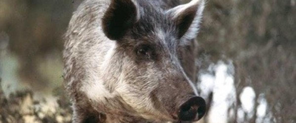 Hog hunting Pennsylavania