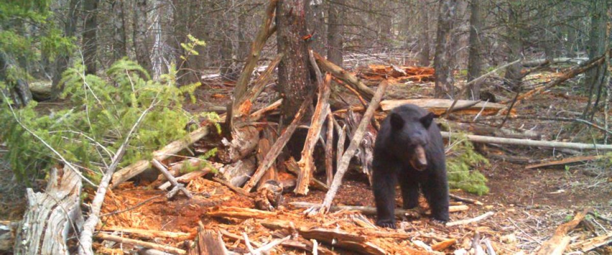 The battle of baiting and hunting nocturnal bears