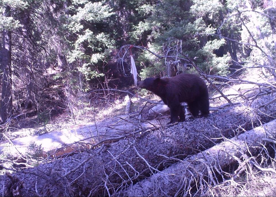 Battle of Baiting and Hunting Nocturnal Bears | Boarmasters | Bear ...