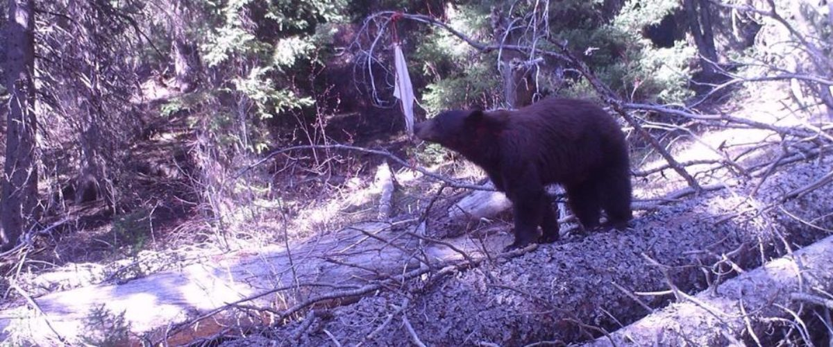 Top 5 bear baiting tips by Nick Hopkins